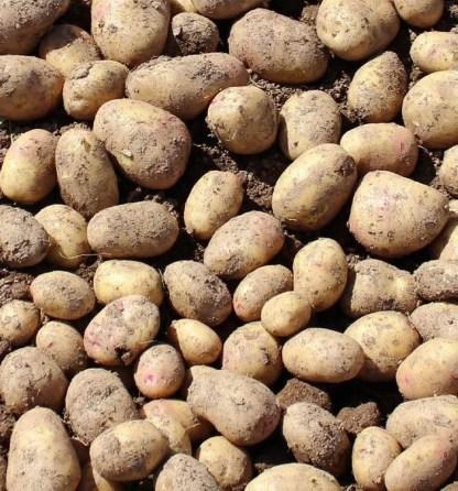 White Seed Potatoes, Carolus Seed Potato