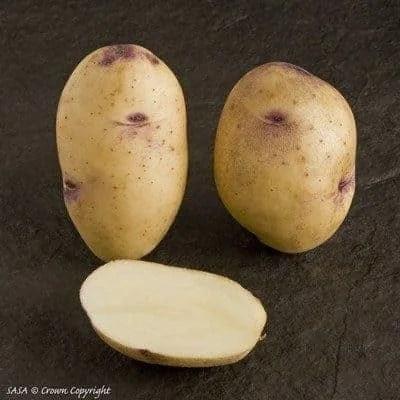 Catriona Seed Potatoes