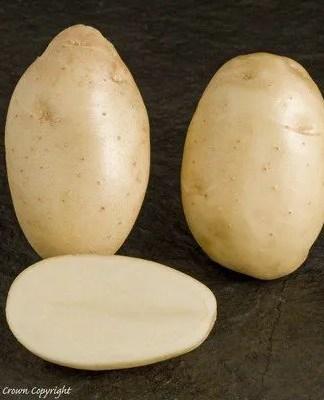 Majestic seed potatoes