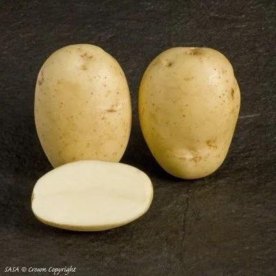 Maris Piper Seed potatoes