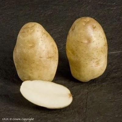 Russet Burbank Seed Potatoes