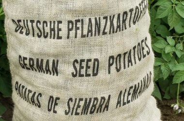 cropped German seed potatoes