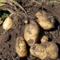 Influencing potato tuber numbers
