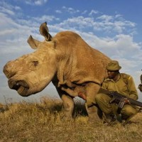 Sudan The Last Northern Male White Rhino Is Ailing. Why Should We Care Plus Some Interesting Facts About Rhinos