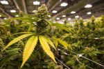 Health & Business: 8 Benefits Of The Cannabis Plant