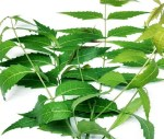 Health: The Benefits Of Neem (Mwarobaini)