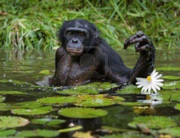 La crise de la quarantaine touche aussi les chimpanzés