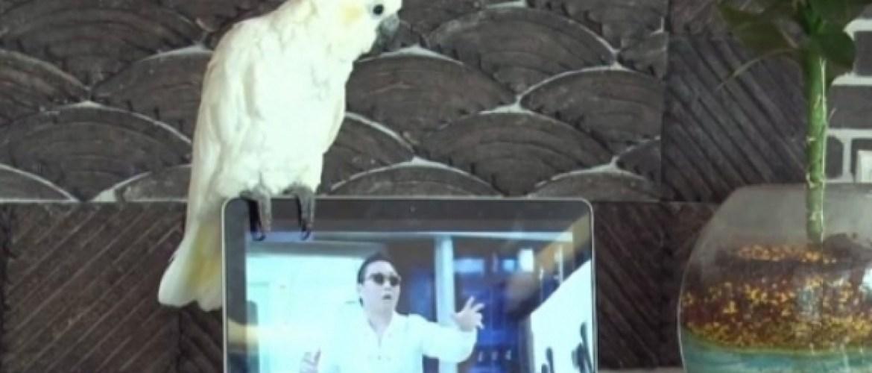 Le perroquet qui a le Gangnam Style