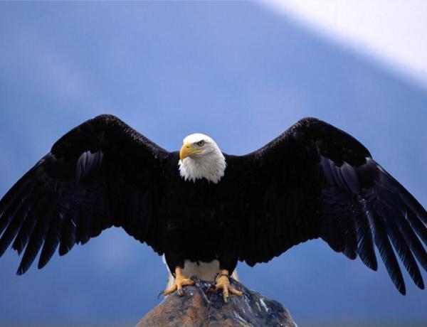 Un aigle royal tente de voler un bébé !