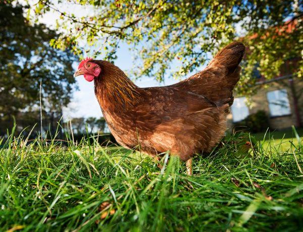 Un garçon de 14 ans vole et viole un poulet qui n'a pas survécu à l'attaque