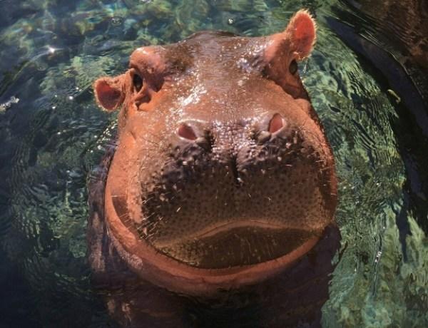 The Fiona Show : L'hippo star des réseaux sociaux fête son 1er anniversaire