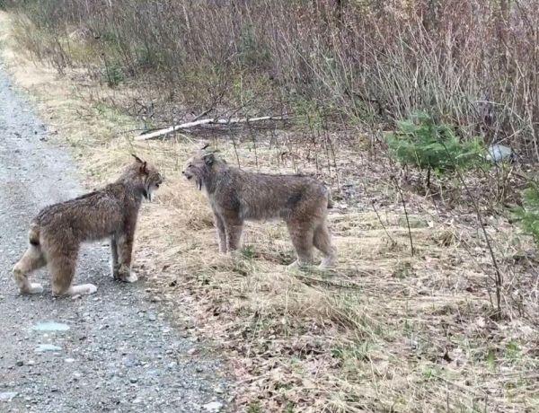 Quand une dispute entre deux lynx affole le web