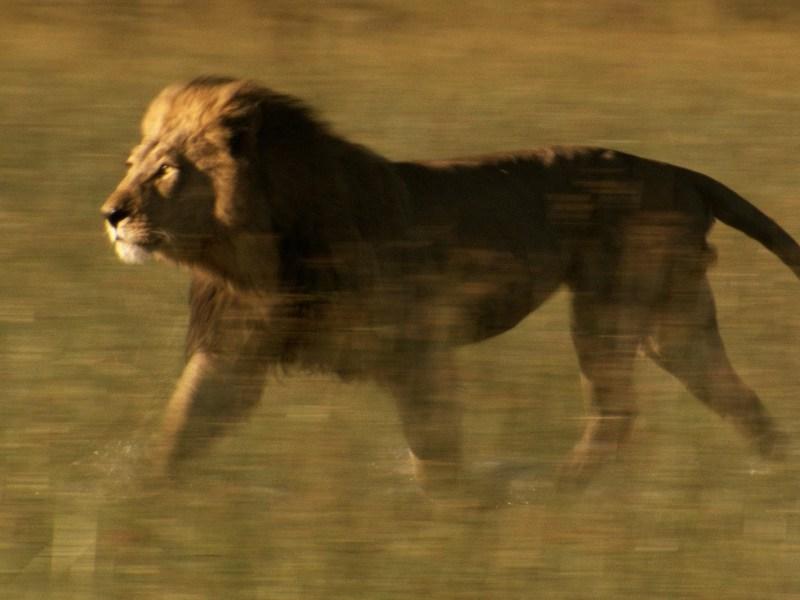 Etats-Unis : Cette journaliste ne fera plus d'interview avec un lion !