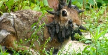 Découverte d'un étrange lapin mutant avec des étonnantes cornes noires sur la tête
