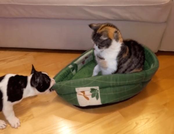 Cute : Un chiot tente de récupérer son lit volé par un chat