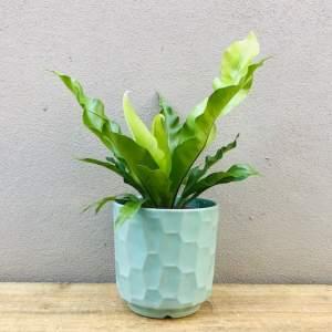 Birds Nest Fern in Mint Ceramic Pot