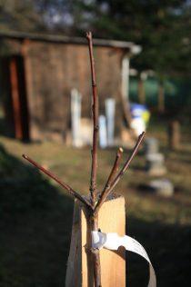 Téměř ideální podzimní povýsadbový řez. Tři kosterní větve směřují do různých stran a jsou podřízeny termínálu. Nicméně rostou z jednoho místa, což není zcela vhodné.