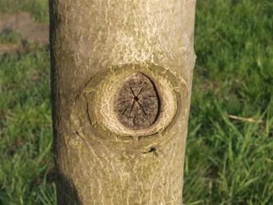 Správně provedený řez na větevní kroužek se po několika letech zcela zahojí a strom nijak neohrozí.