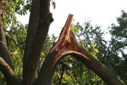 V tomto případě se vyplatí větev ponechat jak je, případně zafixovat ať nedojde k úplnému odlomení. A odstranění větve nechat na zimní období. V tomto případě se však bude jednat o velkou ránu a strom na její následky bude skomírat.