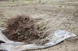 Jednoleté semenače, charakteristické bohatým kořenovým systémem. Foto: www.ovocnystrom.sk
