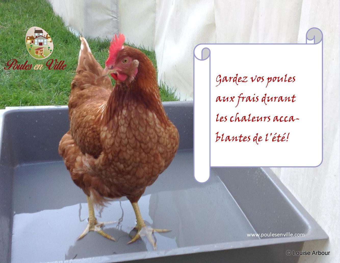11 pourquoi les poules sont elles si sensibles la - Poules en ville reglementation ...