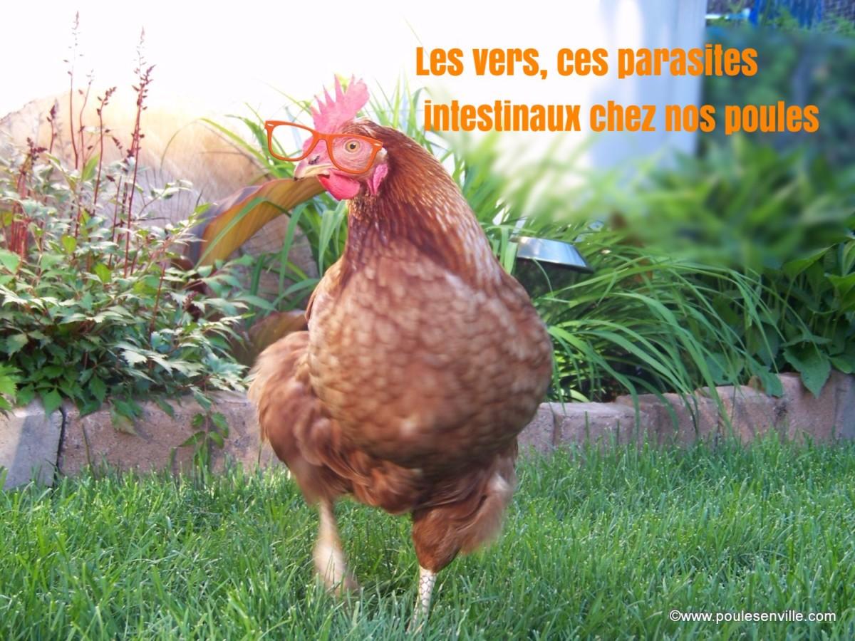 15 le contr le et traitement des vers intestinaux chez for Traitement pour les poules