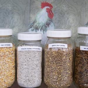 L'alimentation des poules et sa nutrition