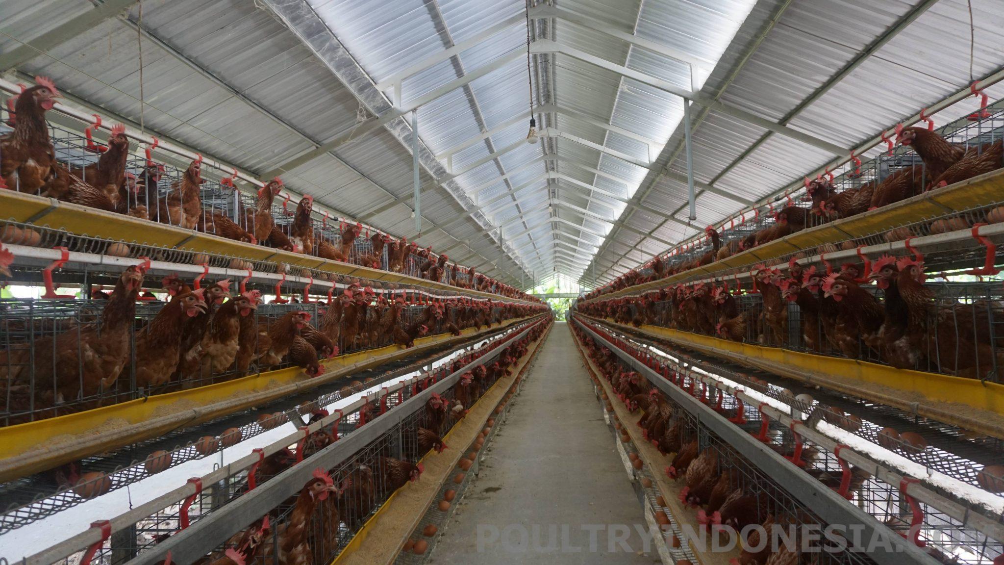 Contoh Kandang Ayam Petelur Yang Baik - Barisan Contoh