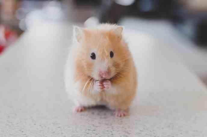 hamster dore syrien debout visage