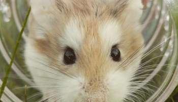 Visage hamster de roborovski