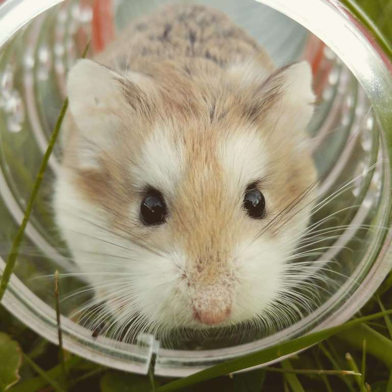 Visage hamster roborovski dans tube tuyau tunnel