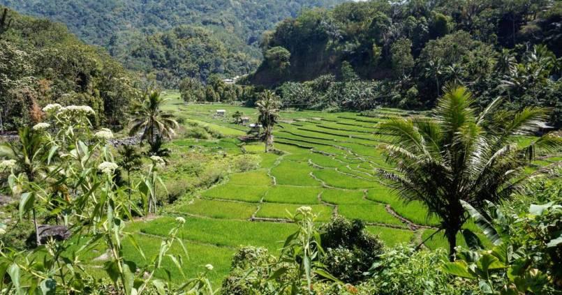 Flores rizières 1