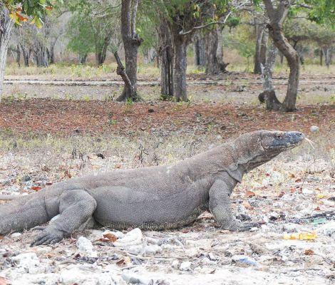 Un dragon de Komodo croisé en chemin, nous ne faisions pas les malins 5