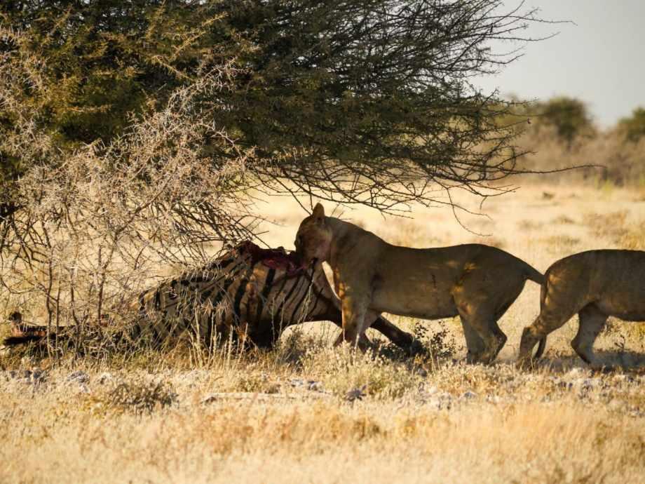Safari au parc national d'Etosha en Namibie 18