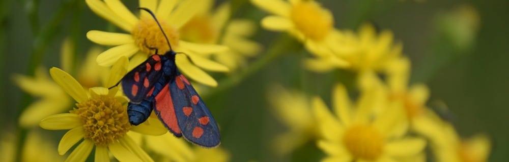 A(s)iles - papillon - Zygaena filipendulae
