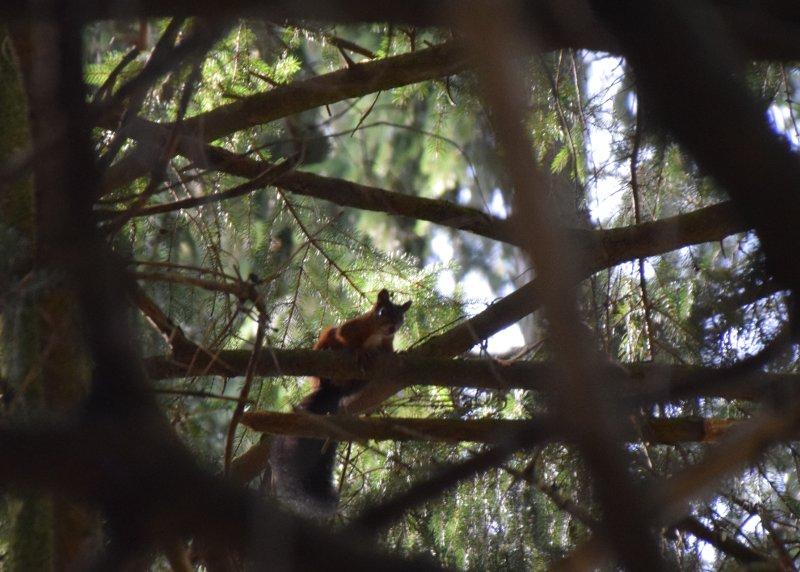 Écureuil bondissant à la moindre alerte