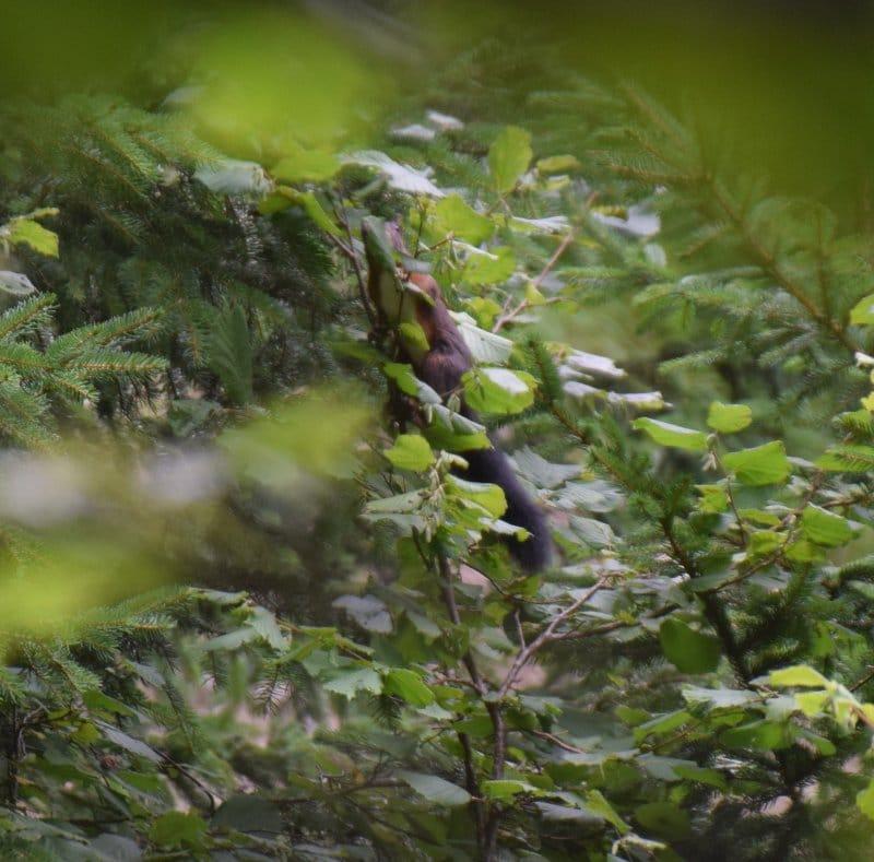Écureuil champion de camoufflage