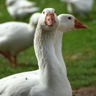 poussins oie et canard souleie polignac 43 le puy en velay elevage poussins