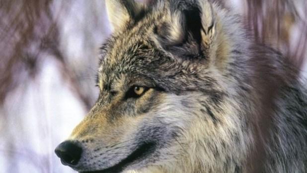 grey-wolf-desktop-nexus1 Gray Wolf Is A Keystone Predator Of The Ecosystem