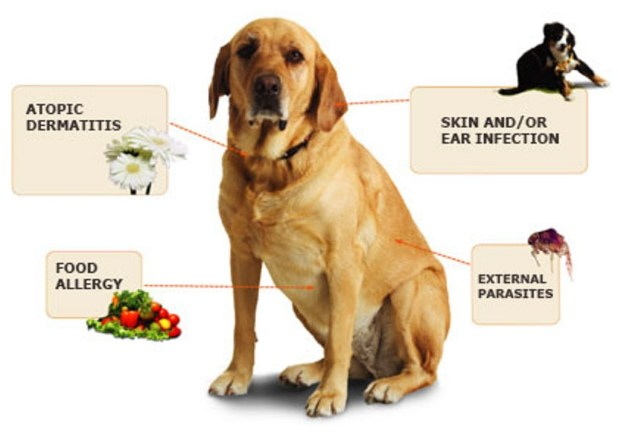 Does-Your-Pet-Have-Some-Kind-of-Allergy-10 Does Your Pet Have Some Kind of Allergy?