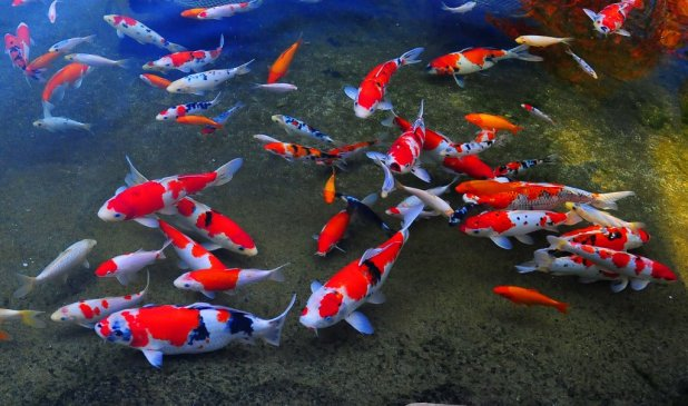 cost-reduced-on-most-expensive-japanese-koi-fish-online-2 10 Animals That Outlive People