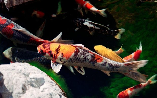 japanesekoifish-l-866df46b87aac29d 10 Animals That Outlive People