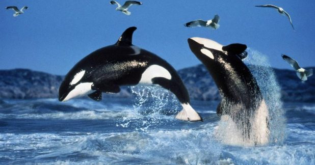 orcas-jumping 10 Animals That Outlive People