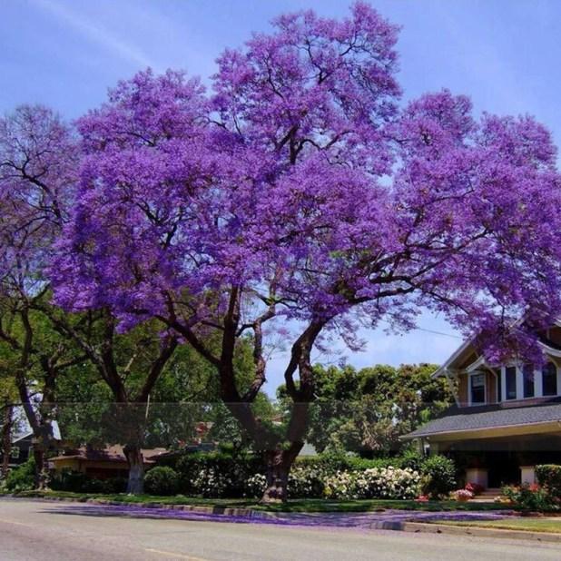 50-Best-Paulownia-Seeds-font-b-empress-b-font-font-b-tree-b-font-Romantic-Flower Top 10 Fastest Growing Trees in the World