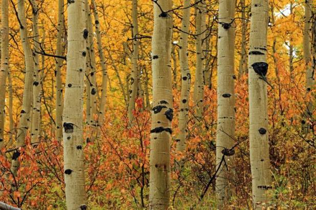 aspen-trunks Top 10 Fastest Growing Trees in the World