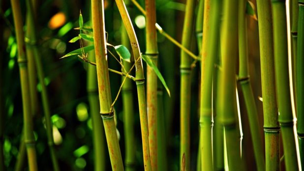 bamboo-tree-glowing-2560x1440-and Top 10 Fastest Growing Trees in the World