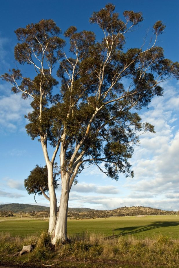 shutterstock_63701863 Top 10 Fastest Growing Trees in the World