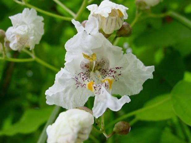 14343957 Top 10 Summer-Blooming Trees for Your Garden