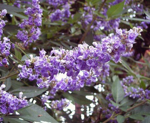 Vitex-agnus-castus-Shoal-Creek Top 10 Summer-Blooming Trees for Your Garden