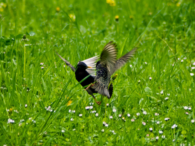 birds_fight.jpg